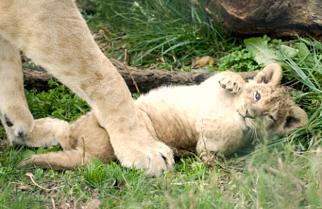 Lion cubs columbus zoo 7