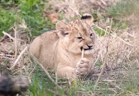 Lion cubs columbus zoo 2