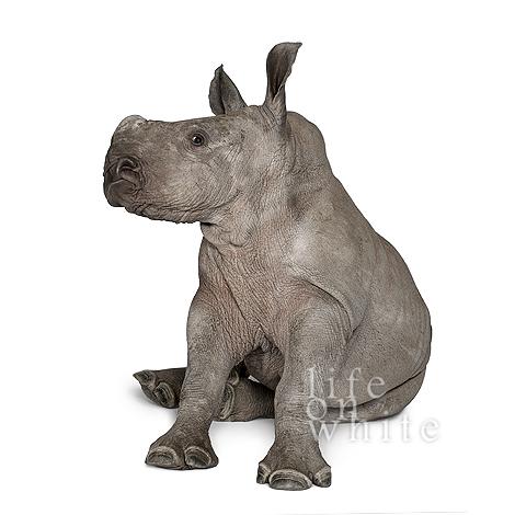 Baby rhino ebun munster zoo life on white 3