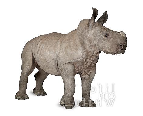 Baby rhino ebun munster zoo life on white 4