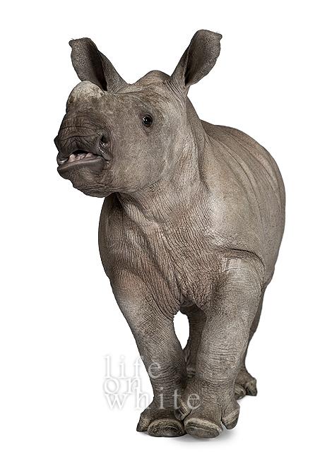 Baby rhino ebun munster zoo life on white 5