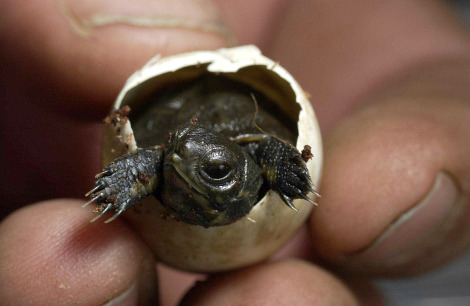 Western pond turtle hatchling oregon zoo 4 rs