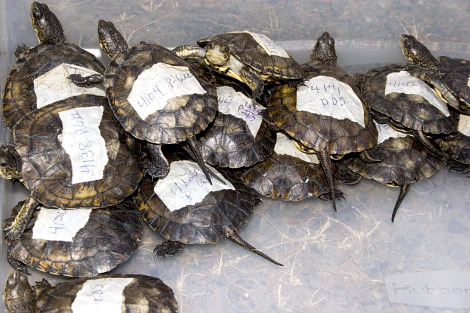 Western pond turtle hatchling oregon zoo 5 rs