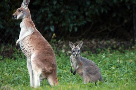 Baby kangaroo joey belfast zoo 1 rs