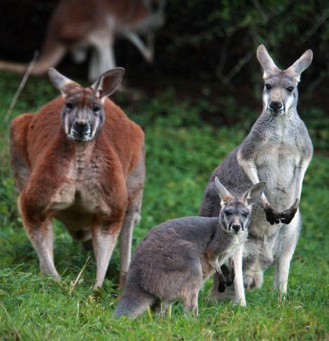 Baby kangaroo joey belfast zoo 2 rs