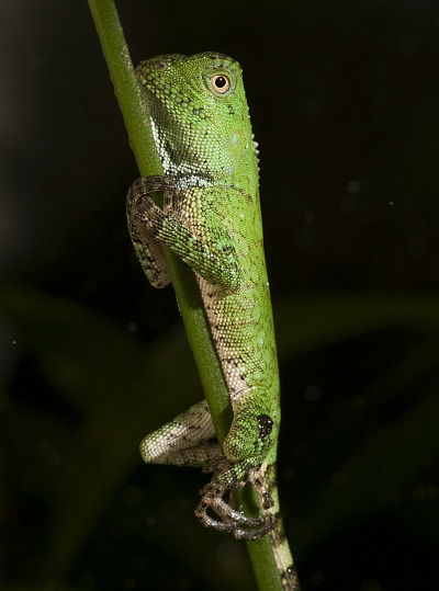 Baby chameleon forest dragon smithsonian national zoo 2 rs