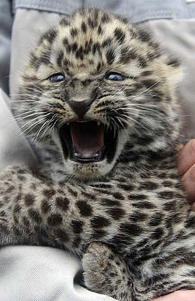 Amur leopar cub germany 3