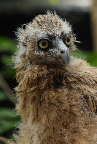 Malay-Fish-Owl_WRS