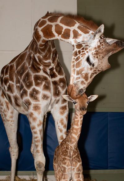 Baby giraffe calgary zoo 2 rs
