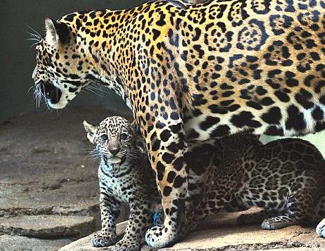 Jaguar cubs mesker park zoo 1
