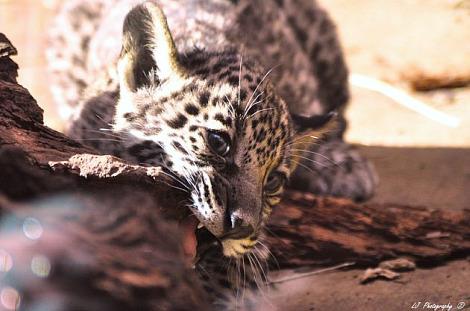 Jaguar cubs mesker park zoo 3