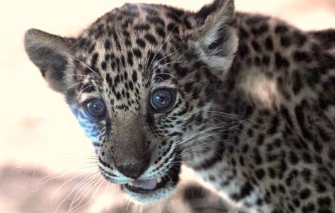 Jaguar cubs mesker park zoo 2