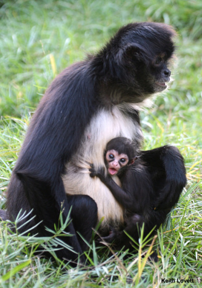 Baby spider monkey palm beach zoo 1 rs2