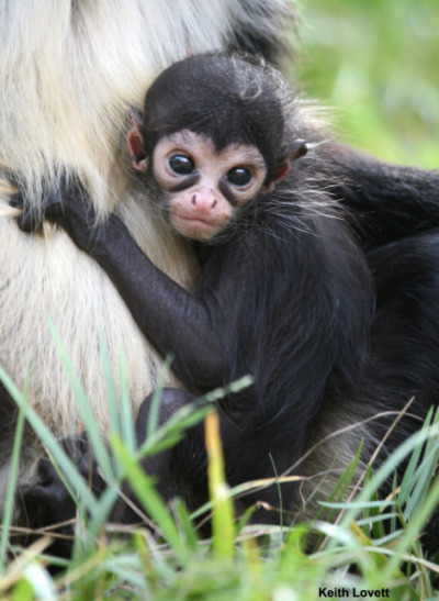 Baby spider monkey palm beach zoo 2 rs2