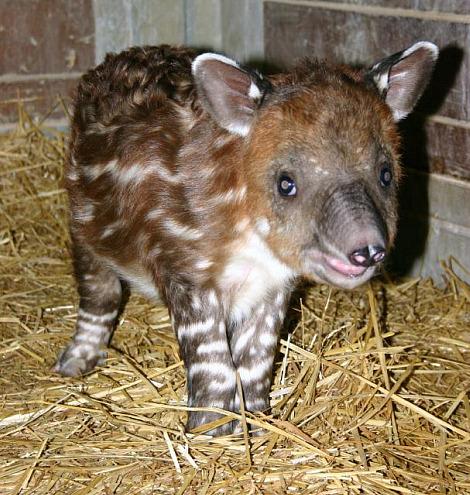 Baby Tapir Calf Zoo New England 2