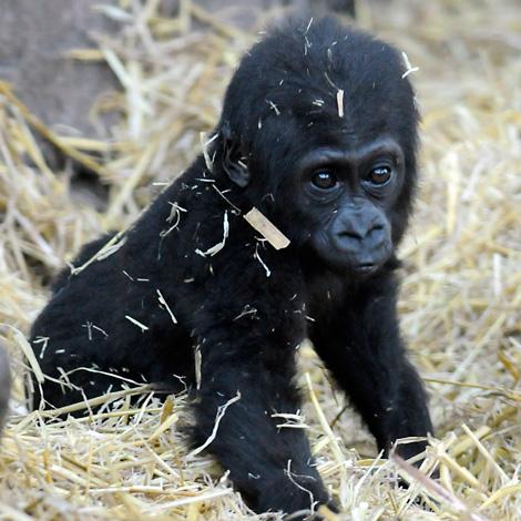 Baby_Gorilla_Mbula-1