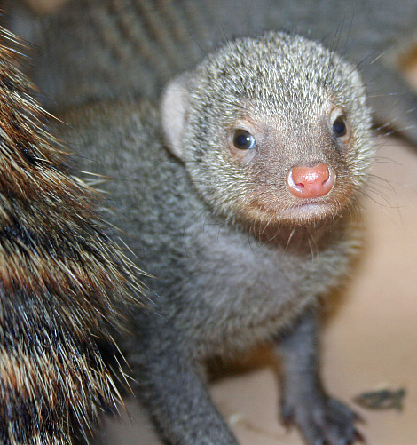 At three weeks old, banded mongoose pups are already running, digging, and eating insects 2