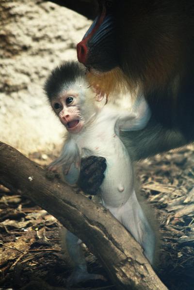 Mandrill Baby Gladys Porter Zoo 3