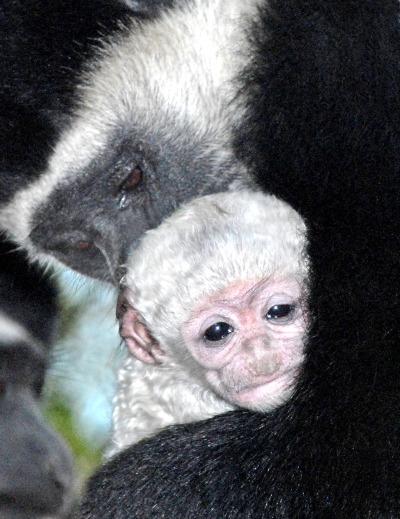 Baby Colobus 12-3-09_Tad Motoyama rs