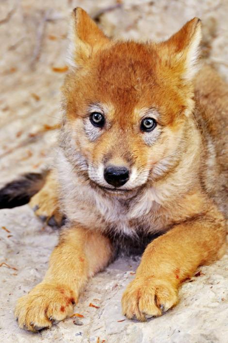 Wolf pup zurich zoo tambako 3 rs