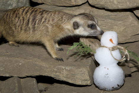 Meerkat and snowman national zoo mehgan murphy