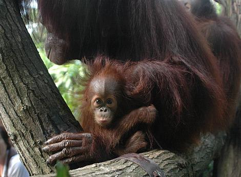 Orangutan singapore zoo 2