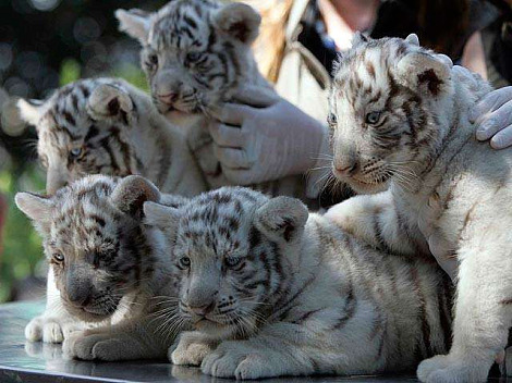 White tiger cubs national zoo chile 4