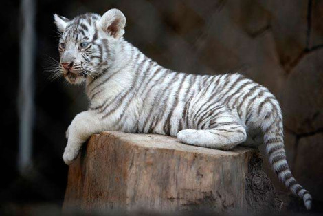 White tiger cubs national zoo chile 2