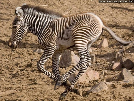 Grevys zebra foal denver zoo 1