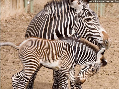 Grevys zebra foal denver zoo 3
