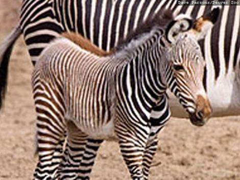 Grevys zebra foal denver zoo 4