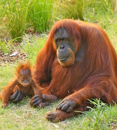 Baby orangutan perth zoo 1_picnik