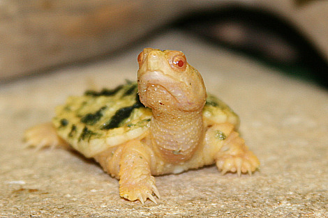 Albino snapping turtle hatchling red river zoo rs2