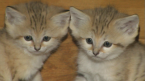Arabian Sand Cat Kittiens
