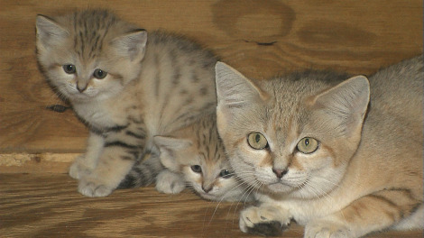 Arabian Sand Cat kittens 2 rs