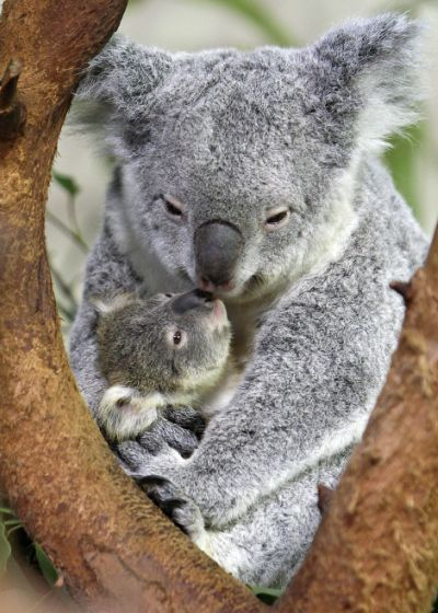 Baby koala riverbanks zoo lottie and oliver 1 rs