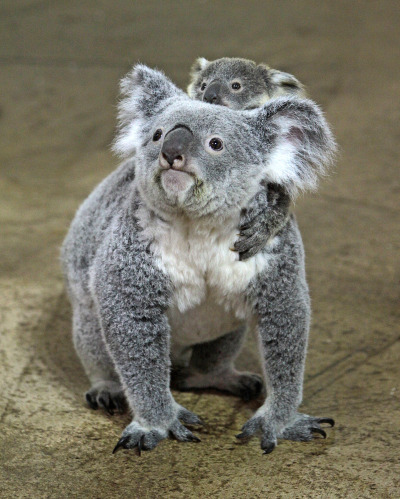 Baby koala riverbanks zoo lottie and oliver 2 rs