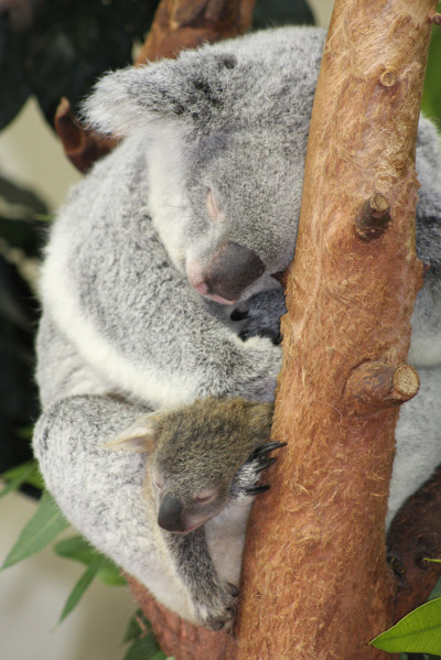 Baby koala riverbanks zoo lottie and oliver 5 rs