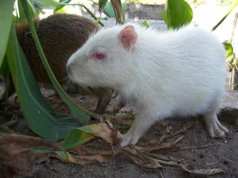Albino capybara mbopicua 2 rs