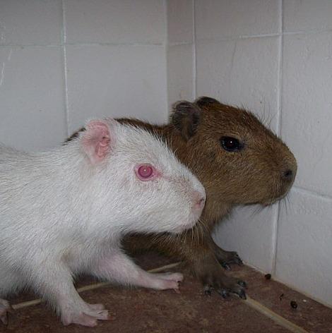 Albino capybara mbopicua 3 rs