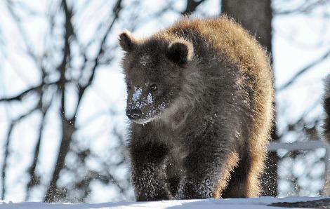 Brown bear cubs bronx zoo 2 rs2
