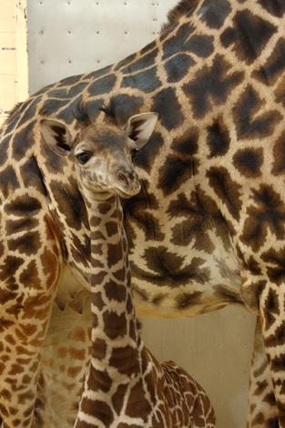 10-01-27_Giraffe-02