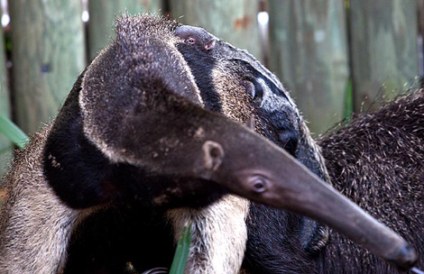 Anteater2-small