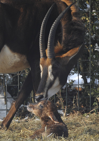 Sable Antelope Calf Zoo Basel 1