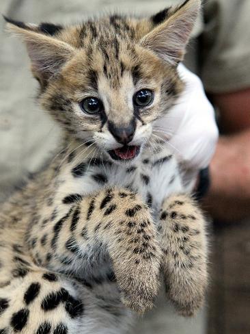751058-serval-kittens