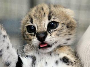 751064-serval-kittens