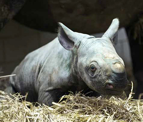 Black rhinos can live to be 30-35 years in the wild and more than 45 years in captivity.