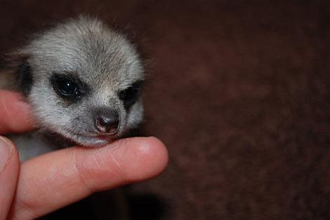 Baby meerkats paradise wildlife park 3