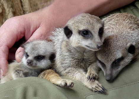 Baby meerkats paradise wildlife park 1