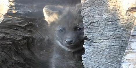 Maned wolf pup denver zoo